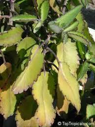 Plant Diseases Identification - tropical plant diseases and pests identification toptropicals com