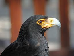 stellers sea eagle wallpapers birds of prey the verreaux u0027s eagle eagle bird and animal
