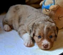 5 week old mini australian shepherd my baby 5 weeks old my mini aussie pinterest babies