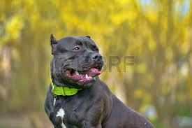 american pitbull terrier 9 meses raza american bully 9 meses de edad cachorro fotos retratos