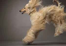 afghan hound dog images afghan hound dog adogbreeds com