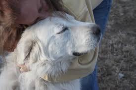great pyrenees rescue provides wonderful dogs to good homes colorado great pyrenees rescue community rainbow bridge