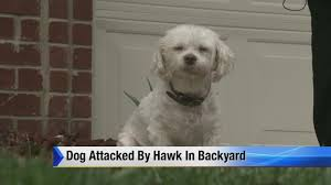 dog attacked by hawk in back yard