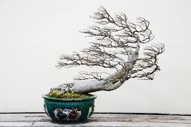 in washington bonsai trees express u s japan ties american view
