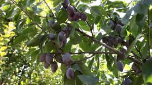 european plum tree in orchard yellowish green plums on branch