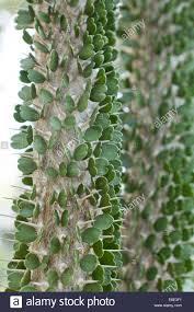native plants of madagascar alluaudia montagnacii devil u0027s dagger plant native to madagascar