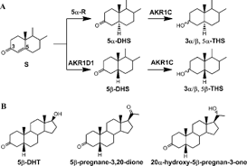stereospecific reduction of 5β reduced steroids by human