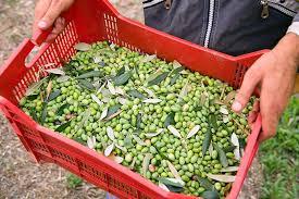 cassette per raccolta olive la raccolta delle olive con abbacchiatori e brucatura a mano