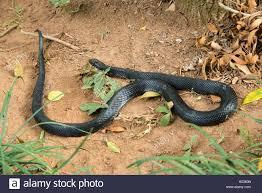 Madagascar Blind Snake Indian Snakes Stock Photos U0026 Indian Snakes Stock Images Alamy