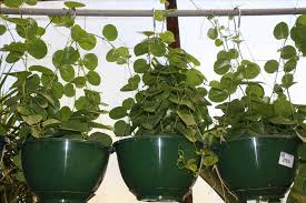 indoor vine to visit gardenanswerscom morning glory flowers live up their name