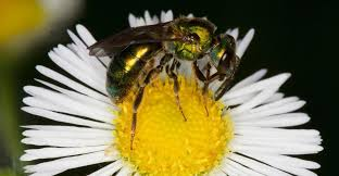 Bee Deterrent For Patio 4 Easy Ways To Get Rid Of Sweat Bees Quickly Pestwiki