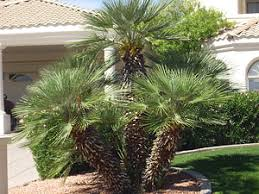 mediterranean fan palm tree mediterranean fan palm whitfill nursery palm trees