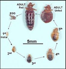 Bed Bugs How Do You Get Them Bed Bugs Health Topics Contra Costa Health Services