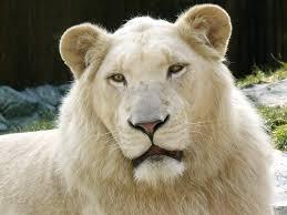 white lion gaia healing centre lions animal