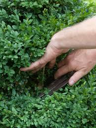 creating a boxwood topiary hgtv