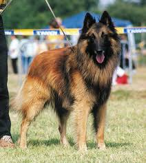 belgian shepherd dog temperament history and purpose abtc
