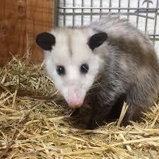 opossum u2013 wildlife safari blog
