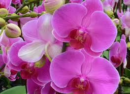pink orchids the amazing true history of orchids and what their colors