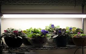 african violet grow light inside urban green african violets in bubble sips growing under led