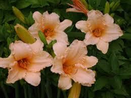 day lillies dj s daylilies