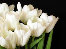 white tulips white tulips 1 photograph by velasco