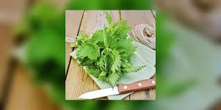 cuisiner l ortie ortie cuisine 100 images quiche orties facile et pas cher