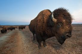 Kansas wild animals images How to put a camera on a 1 000 pound bison national geographic jpg
