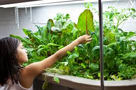 basement aquaponics growing vegetables and tilapia in your