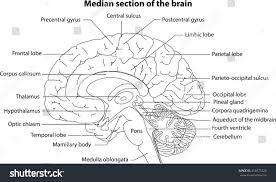 Image Of Brain Anatomy Human Brain Brain Median Section Brain Stock Vector 416973325