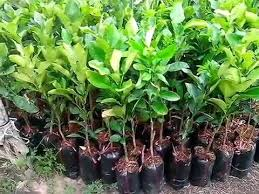 pomelo and fruit trees seedling for sale pomelo