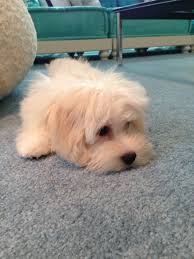 bichon frise 4 months old my little baby chauncey he is a 4 month old 4 pound havaton