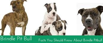 american pit bull terrier brindle brindle pit bull facts you should know about brindle pitbull