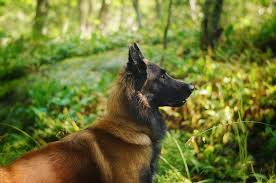 belgian shepherd quotes cop dogs we fight for justice open to all other animals