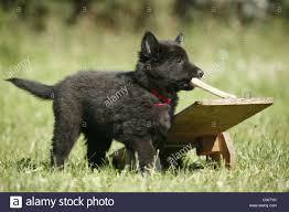 belgian sheepdog groenendael puppies groenendael stock photos u0026 groenendael stock images alamy