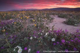 anza borrego wildflowers anza borrego wildflower update 2015 photo blog niebrugge images