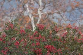 frangula californica wikipedia horticulture blog cnps slo