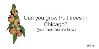Planting Fruit Trees In Backyard Fruit Trees In Chicago How To Grow Fruit Trees In Chicago Moss
