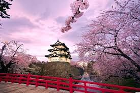 japanese cherry blossom trees bursting into bloom make us