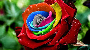 multi colored roses blue strawberries and rainbow colored roses buyer beware