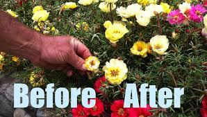 flower pro how to grow larger taller flowers incl portulacas petunias