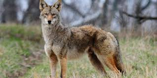 Can Coyotes See Red Light Nky Coyotes Sightings Becoming More Prominent