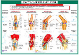 Knees Anatomy Human Anatomy Anatomy Of Knee The Ground Upwards While Gripped