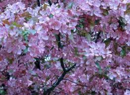 flowering trees buy in pownal