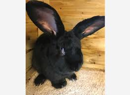 Air Conditioned Rabbit Hutch Much Loved U0027 Giant Rabbit Found Dead After United Flight To O U0027hare