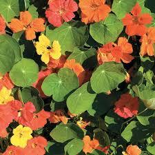 nasturtium flower whirlybird mix nasturtium flower seeds veseys