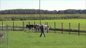 double j ranch australian shepherds mckenzie jj u0027s beyond belief asca herding trials 28 u0026 29