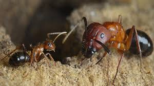 bipolar drug turns foraging ants into scouts science aaas