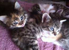 beautiful kittens beautiful kittens 4 in balbriggan cats for adoption in balbriggan