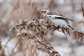 Ontario Backyard Birds Snow Birds 10 Birds To Look For In Winter U2013 Cool Green Science