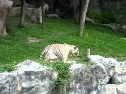 white tiger pacing back and forth